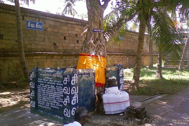 Thirupparaithurai Parai maram - Streblus asper