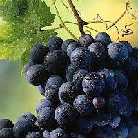 Gamza grape cluster