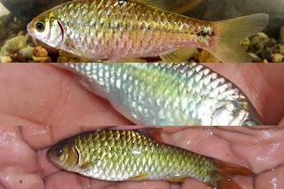 Jenis Ikan Wader Cakul Seluang