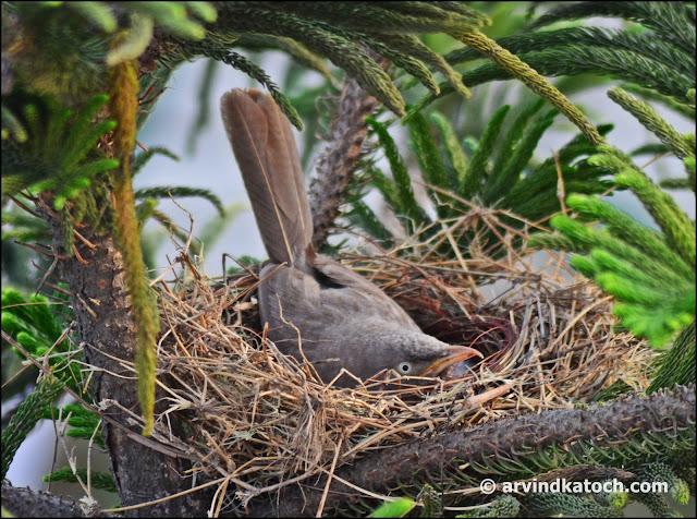 Jungle Babbler, Nest,