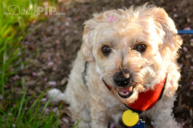 Adopting a senior dog is a chance to rewrite their story and make the middle and ending happy. The first part of Ruby's life wasn't so great, but the second half has been filled with many adventures