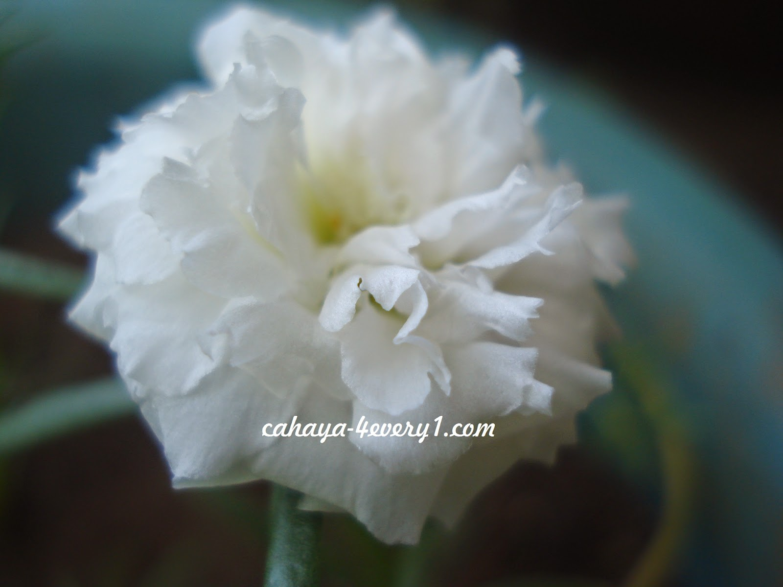 growing moss rose in hot climate