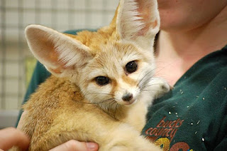 jual fennec fox,  jual fennec fox kaskus,  jual fennec fox di indonesia,  jual fennec fox indonesia,  jual binatang rubah fennec,  harga jual fennec fox,  jual fennec,  harga fennec fox di indonesia,  fennec fox di jual,  harga rubah fennec,