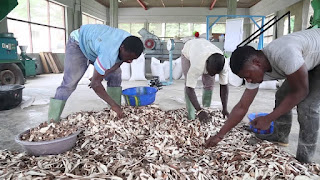 cassava peels