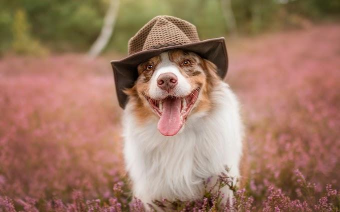 Dog Wore Hat