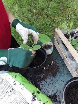 Cose da fare nell'orto biologico: travasare o trapiantare