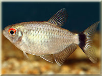 Red Eye Tetra Fish Pictures