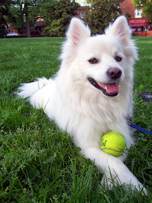 American-Eskimo-white-dog