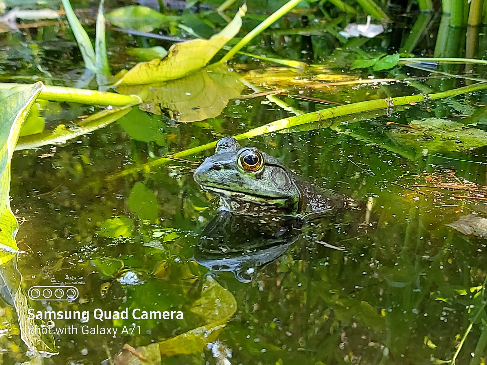 A wildlife green frog