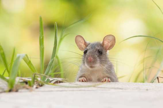 Penyeybab Tikus Kerap Datang Kerumah