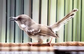 Burung Ciblek : Burung Kicau : Habitat Ciblek : Lingkungan Yang Di Sukai Burung Kecil Yang Bernama Ciblek