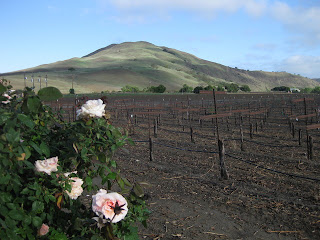 Roses and grapevines, with a sunlit hill in the background, Paicines.