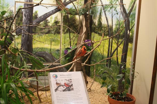 Cardinal at Willowbrook Nature Center.