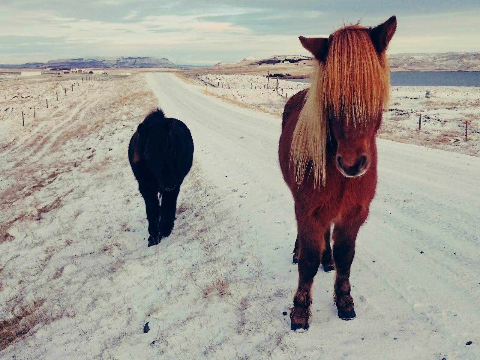 Islandia, zima, zwierzęta, konie, islandzkie konie, krajobraz, zimowy krajobraz, krajobraz Islandii