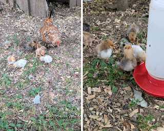 Far and near pictures of the same chick
