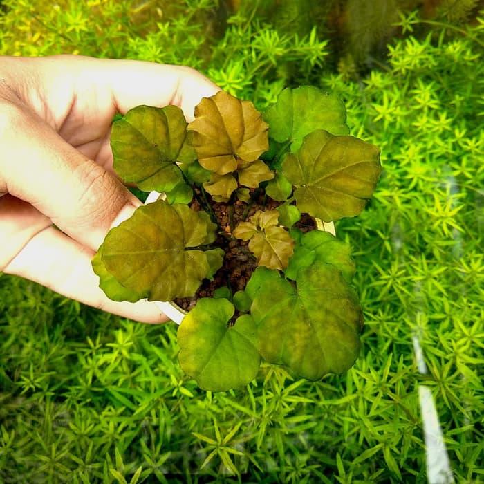 Vẻ đẹp của cây thủy sinh Rau Má Nhật