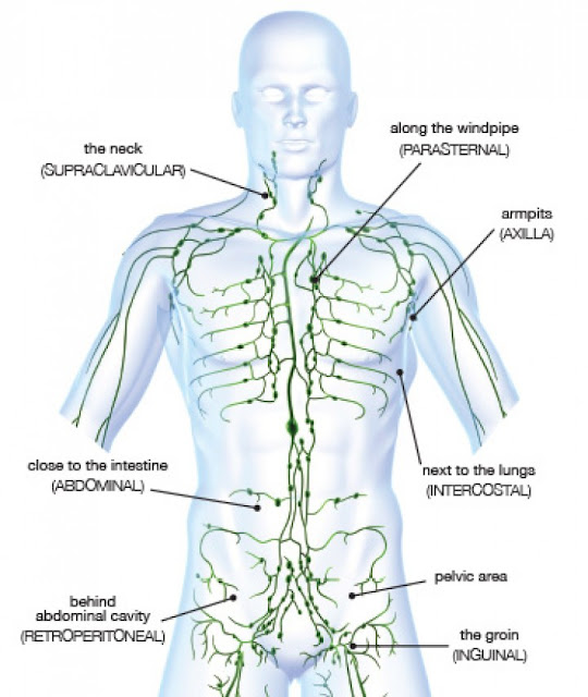 Lymphatic system lymph