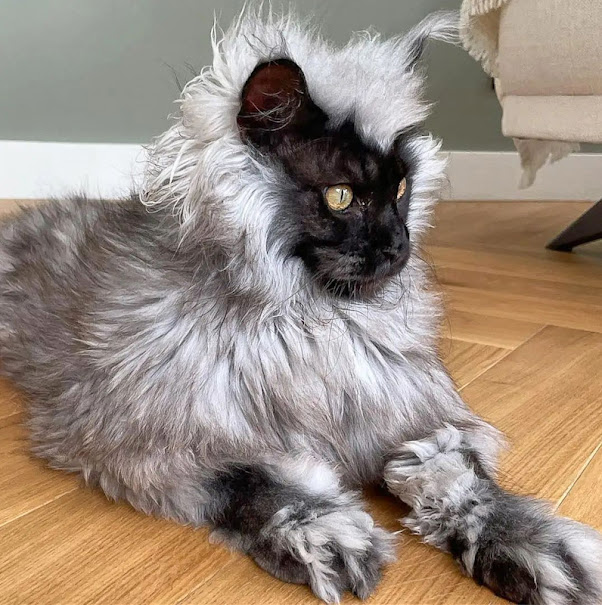 Black smoke Maine Coon Richie with a black face and diamond eyes