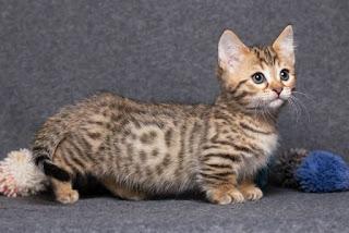 شاهد 10 قطط غريبة قصيرة و طريفة جدا