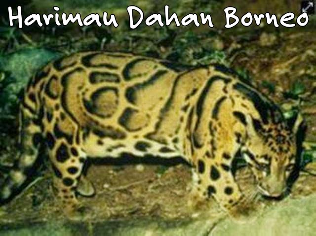 West Borneo Conservation Harimau Dahan Borneo