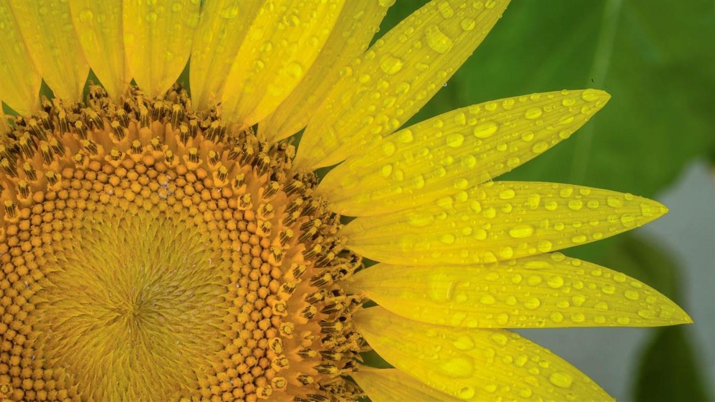 Download Sunflowers PREMIUM, Tema per Windows 10