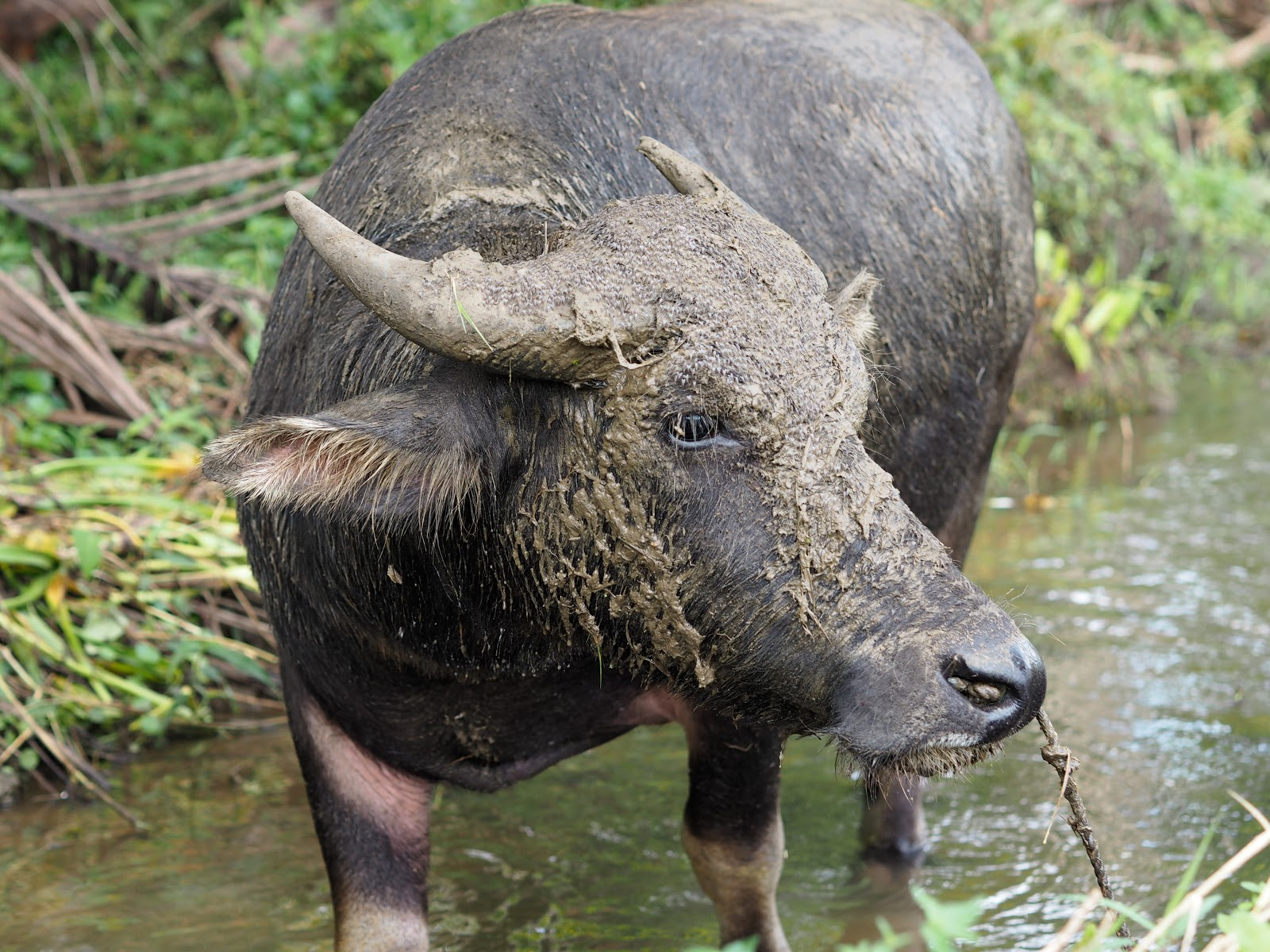 Buffalo in rice fields in Philippines