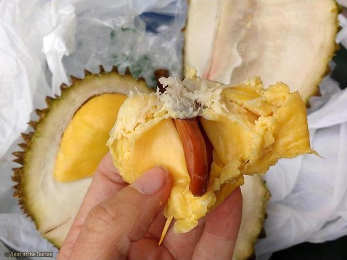 Bibit Tanaman Durian Musang King Kaki 3 Super Palu