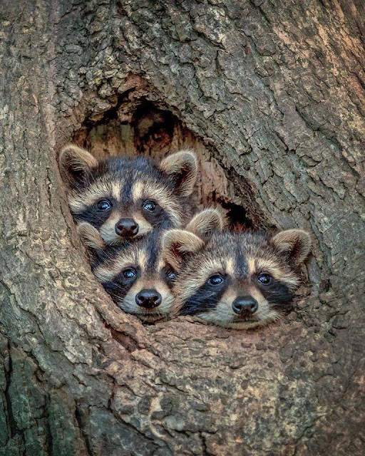 A family of Raccoons photo o familie de ratoni fotografie animale salbativr