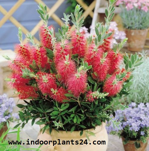 Callistemon Citrinus Myrtaceae Crimson Bottle Brush Indoor Plant image