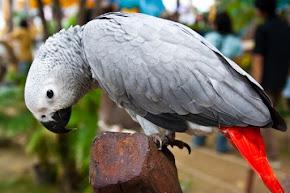 African Grey Parrots - Burung Berbicara Luar Biasa