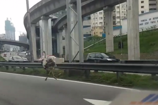 Ostrich Berlari di Federal Highway Semalam, burung unta di lebuhraya persekutuan