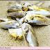 Panic as dead croaker fish flood Ijaw river banks