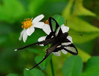A black and white butterfly on a daisy - the White Dragonfly butterfly (Lamproptera curius)