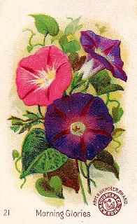 flower morning glory botanical artwork image clipart illustration