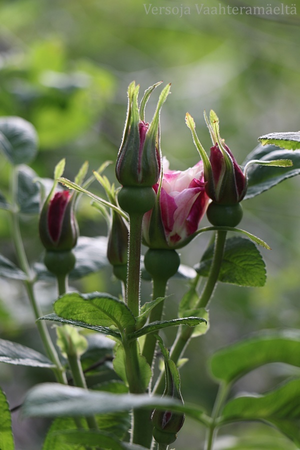 Paras ruusuni ikina -haaste