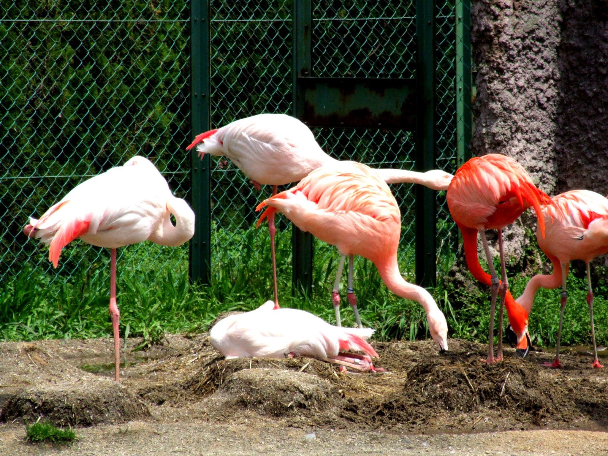 ピンク色が鮮やかなフラミンゴの写真素材です。白っぽい子、かなり赤い子など色あざやかで可愛いですね