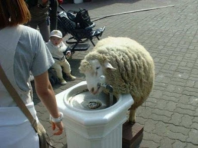 Oveja bebiendo en una fuente Sheep drinking in a fountain