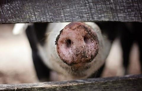 Ismét szállítható friss sertéshús Szerbiába