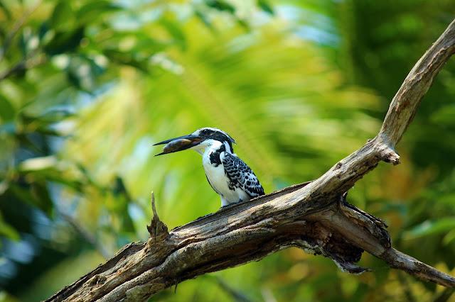 Poovar, neeyar, coconut, backwater, Kovalam, Kerala, boating, kingfisher, black white