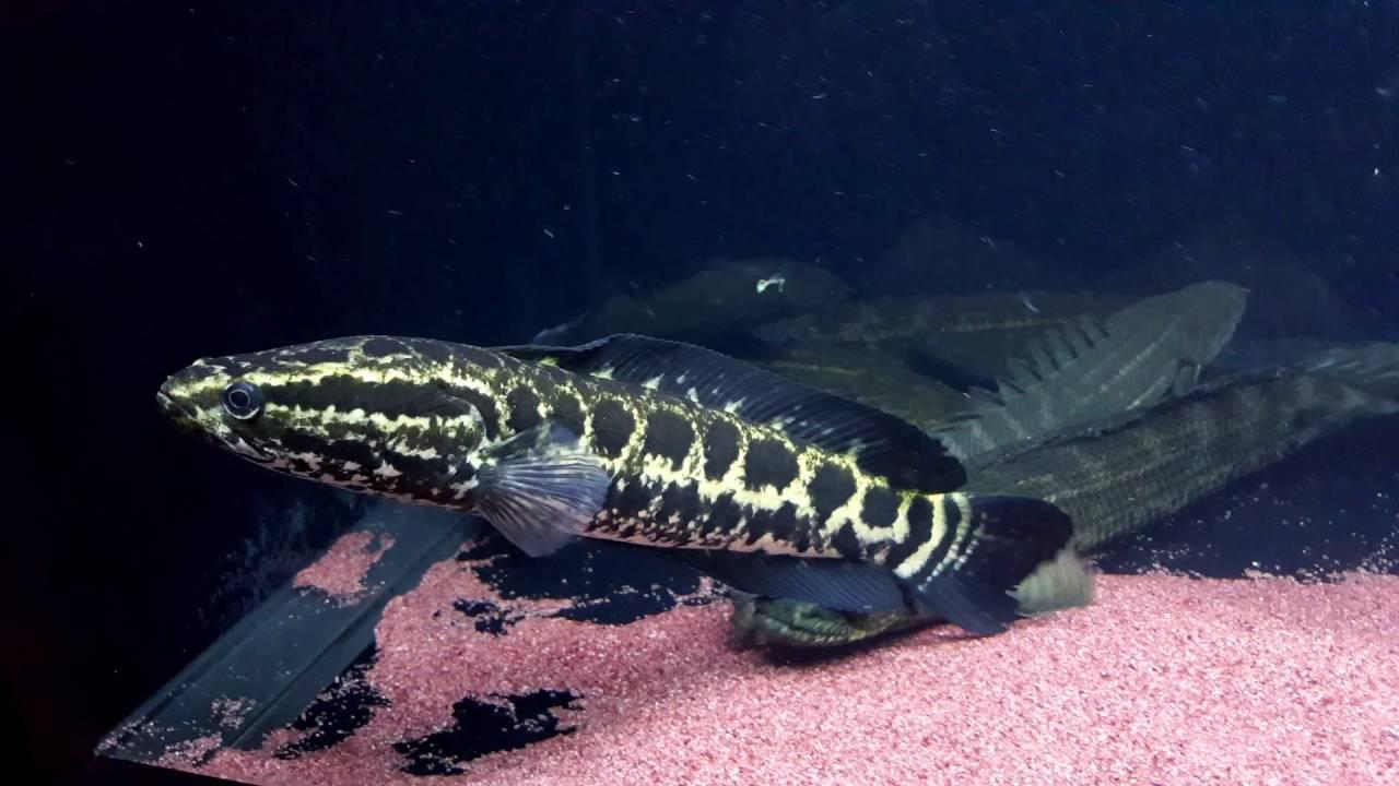 37 Jenis Ikan Gabus Hias Atau Channa Lengkap Beserta