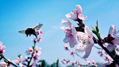Aerial ballet / a bumbling, buzzing, bumping / dance with each blossom.
