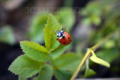 bọ rùa ăn rệp bảo vệ cây hoa hồng