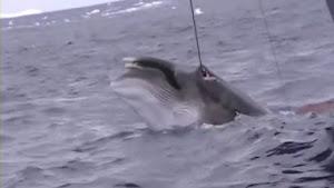 非公開となっていた生々しい日本の調査捕鯨映像をシーシェパードが公開(海外の反応)