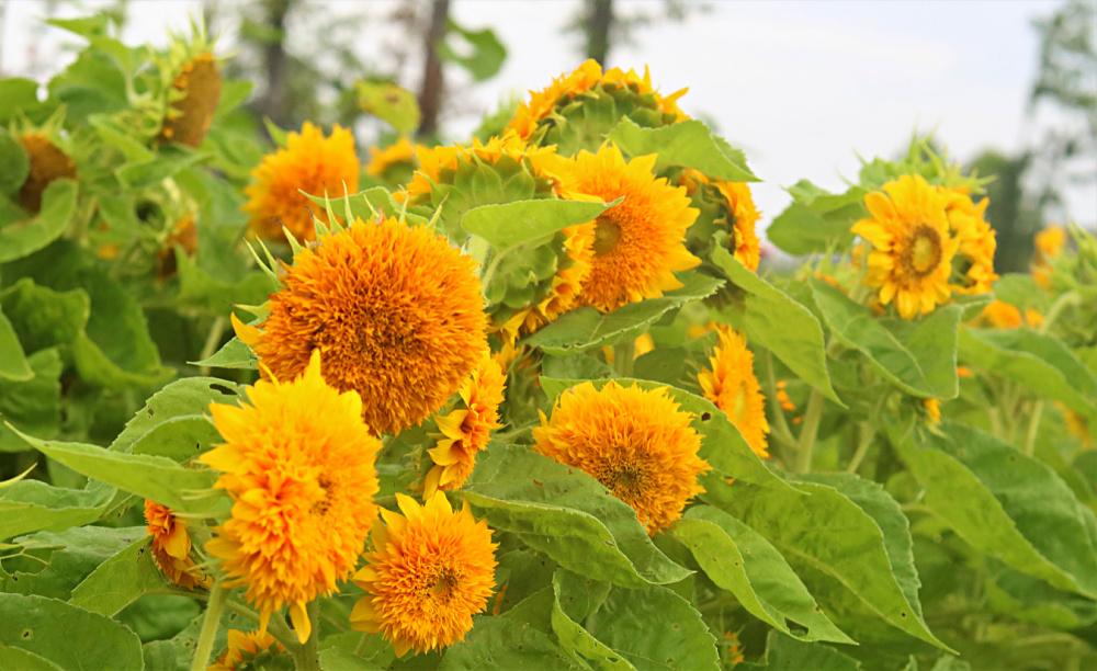 sunflower- teddy-bear-august-best-summer-annuals-athomewithjemma