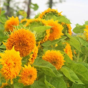 August On The Flower Farm