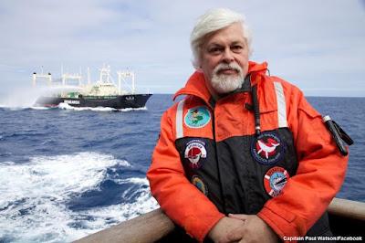 Caça de ursos polares, urso polar, greenpeace, greenpeace urso polares, Captain Paul Watson, Paul Watson, caça, greenpeace brasil, ursos,