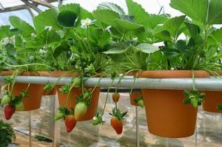 Strawberry Hydroponics