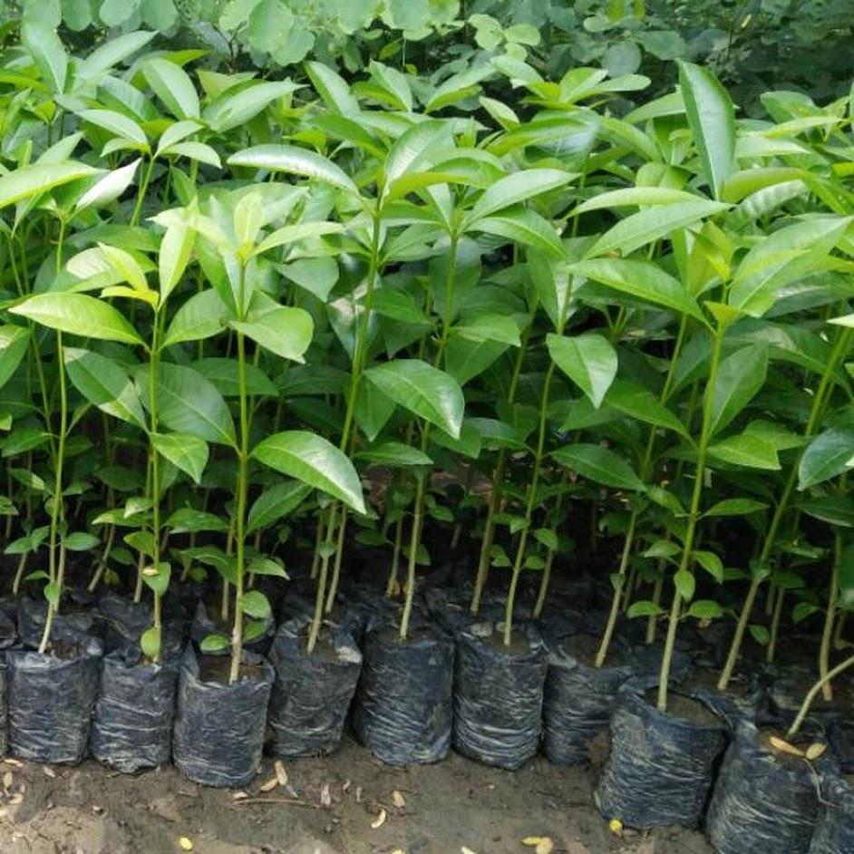 Bibit Tanaman Pohon Pule Murah Berkualitas Bangka Belitung