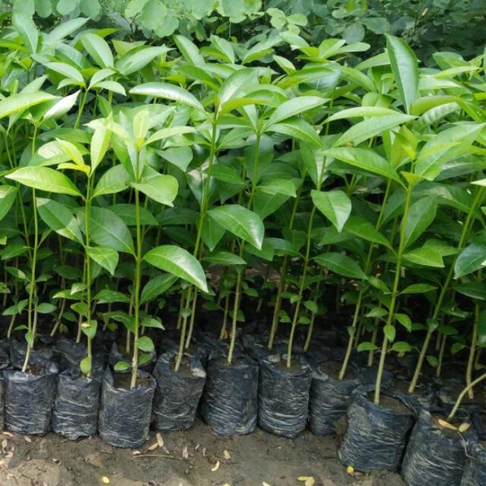 Bibit Tanaman Pohon Pule Murah Berkualitas Jakarta
