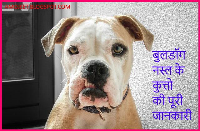closeup-photo-of-adult-white-and-tan-american-bulldog